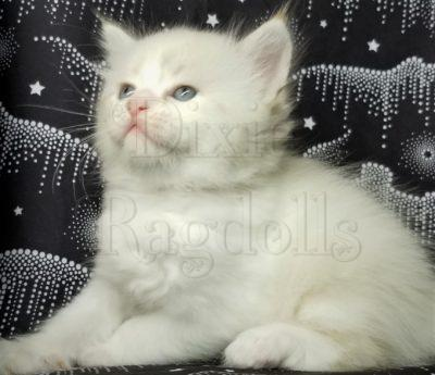 Ragdoll Kittens for sale in Florida Dixie Ragdolls Cattery
