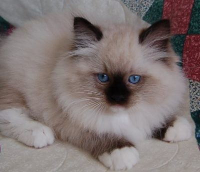 Ragdoll Kittens For Sale In Florida Dixie Ragdolls